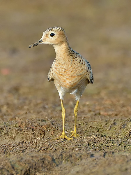 Young Buff-breasted Sandpiper in Austin, Texas