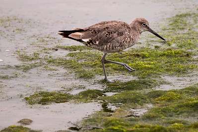 Willet at the Tokeland Marina in Tokeland, Washington.