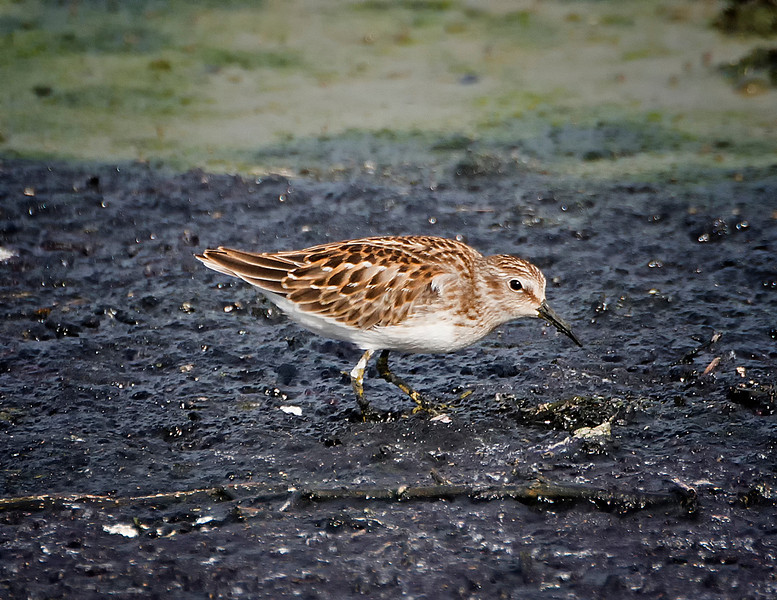 Least sandpiper (Calidris minutilla), Austin, Texas, 2013. This is a juvenile bird in fresh plumage.