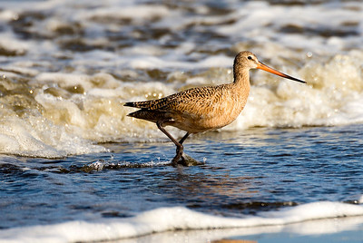 Marbled Godwit near the Point Brown Jetty of Ocean Shores, Washington.