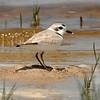 Snowy plover (Charadrius nivosus)