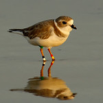 Piping plover (Charadirus melodus)