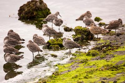 Marbled Godwit with a resting Willet flock.  Photo taken at the Tokeland Marina in Tokeland, Washington.