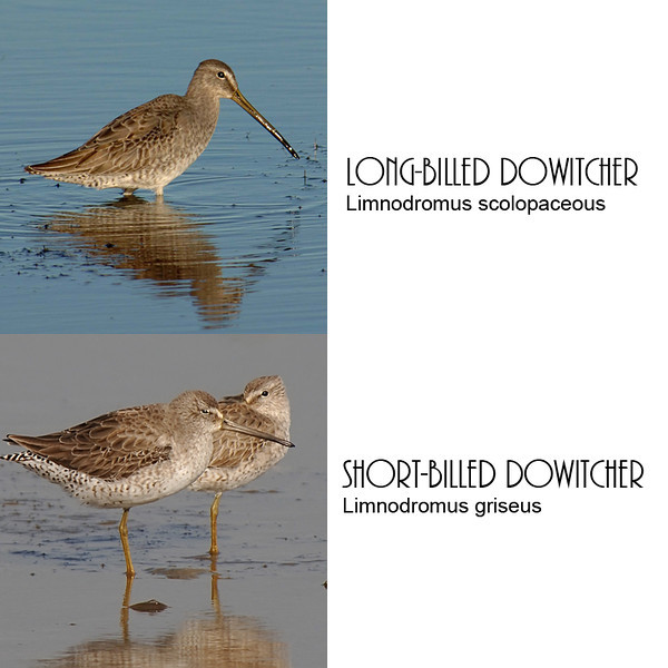 Comparison of long-billed and short-billed dowitchers