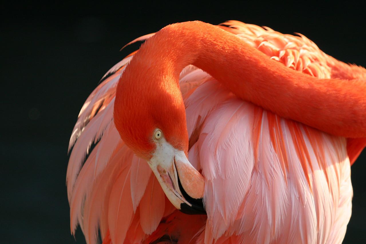 Flamingo, San Diego Zoo