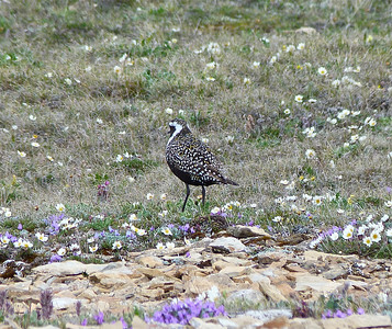 American Golden-Plover male rear view