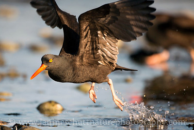 Black Oystercatcher taking flight at Fort Flagler State Park near Port Townsend, Washington.