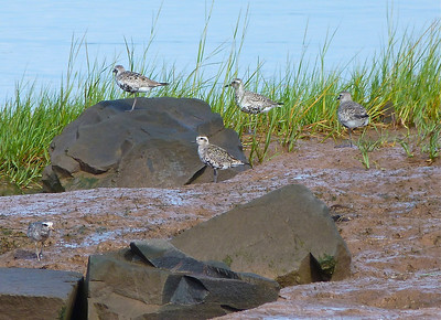American Golden-Plover centre