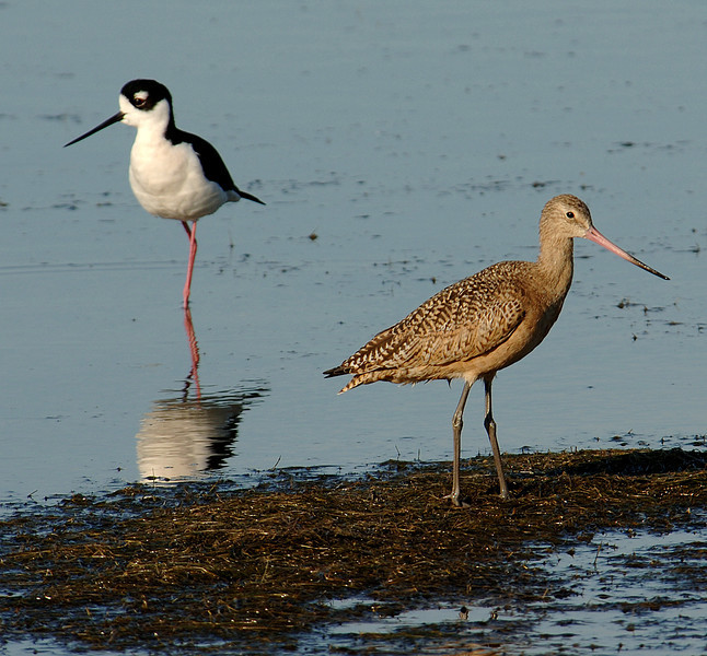 Short-billed dowitcher (Limnodromus griseus), near black-necked stilt (Himantopus mexicanus)