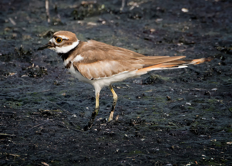 Killdeer (Charadrius vociferus), Austin, Texas, by Ted Lee Eubanks