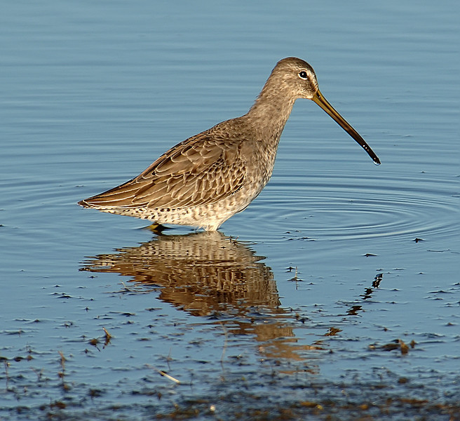 Long-billed dowitcher (Limnodromus scolopaceous)