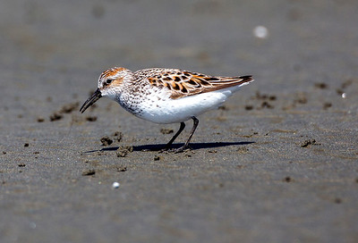 Western Sandpiper in breeding plumage.  Photo taken at Roosevelt Beach near Ocean Shores, Washington.