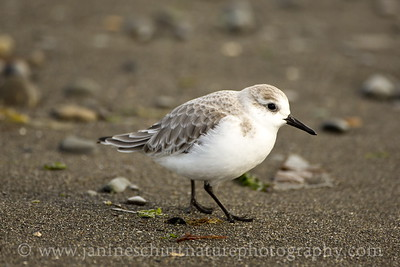 Sanderling in non-breeding plumage.  Photo taken at Ediz Hook in Port Angeles, Washington.
