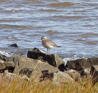 American Golden-Plover, same bird as previous photo