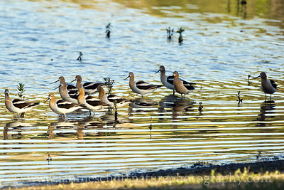 Flock of American Avocets at Swallows Park in Clarkston, Washington.
