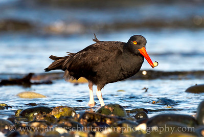 Black Oystercatcher with a limpit at Fort Flagler State Park near Port Townsend, Washington.