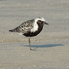 Black-bellied (grey) plover (Pluvialis squatarola)