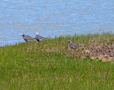 American Golden-Plover on far right, in transition into breeding plumage
