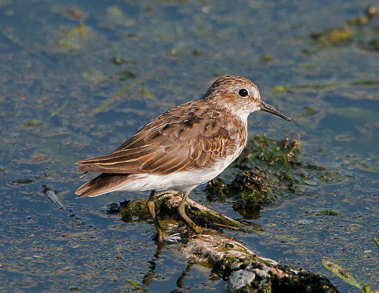 Least sandpiper (Calidris minutilla), Austin, Texas, 2013. This is an adult bird in prebasic molt.