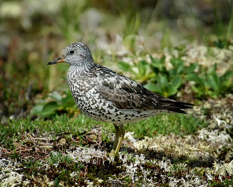 Surfbird in Denali National Park
