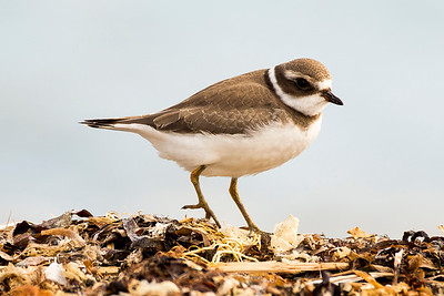 Semipalmated Plover at Fort Flagler State Park near Port Townsend, Washington.