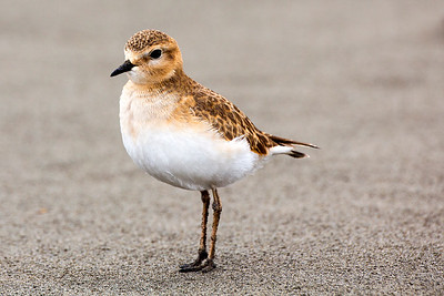 A rare visitor to the Washington Coast!  Mountain Plover on the shore of the Pacific Ocean at Griffiths-Priday State Park in Copalis Beach, Washington.  Photo taken on December 8, 2019.