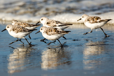 Sanderlings on the beach at the Point Brown Jetty near Ocean Shores, Washington.