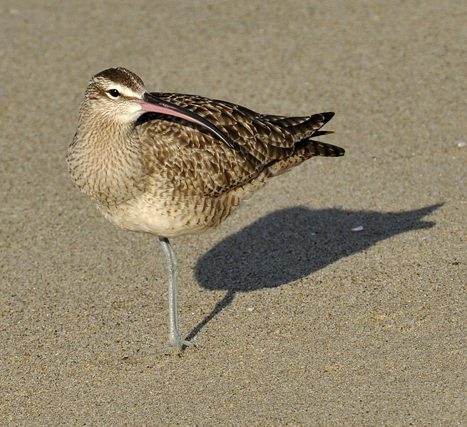 Whimbrel (Numenius phaeopus), California