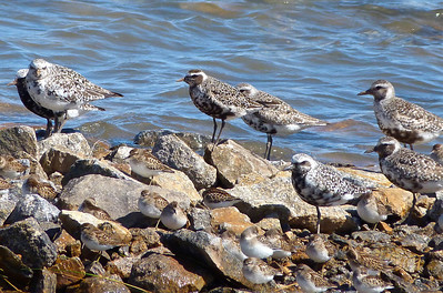 American Golden-Plover, centre, with Black-bellied Plovers & Least Sandpipers