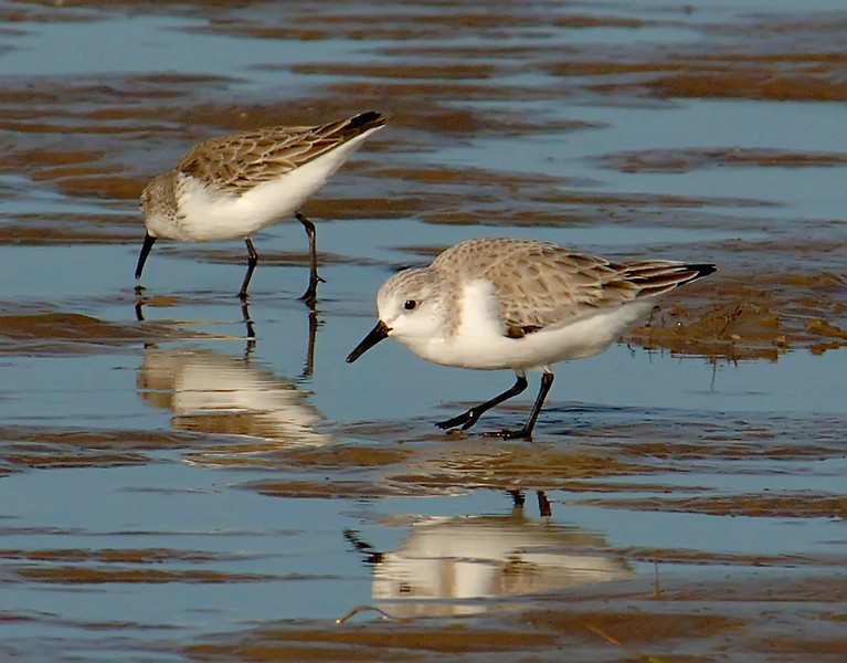 Sanderling (Calidris alba) with western sandpiper
