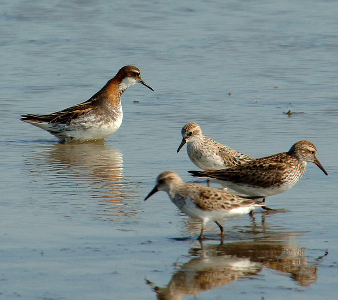 Red-necked phalarope (Phalaropus lobatus), with western and white-rumped sandpipers