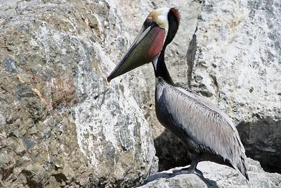 Pelican, Monterey Bay