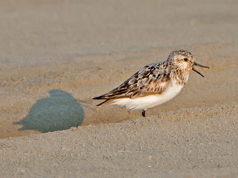 Sanderling (Calidris alba), Galveston, Texas