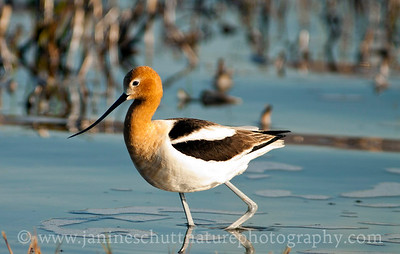 American Avocet in breeding plumage wading in Soap Lake, Washington.