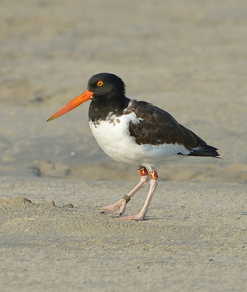 American oystercatcher (Haematopus palliatus), East Beach, Galveston, Texas