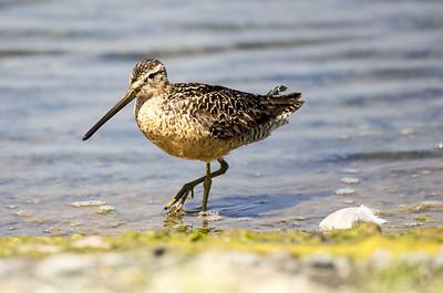 Long-billed Dowitcher in breeding plumage.  Photo taken near Sequim, Washington.
