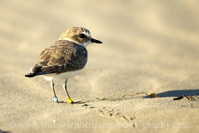 Snowy Plover with leg bands in non-breeding plumage.  Photo taken at Grayland Beach State Park in Grayland, Washington.