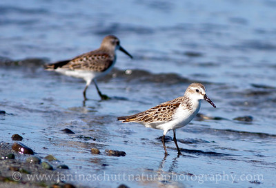 Western Sandpipers at Fort Flagler State Park near Port Townsend, Washington.