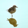 American golden-plover (Pluvialis dominica) (fall)
