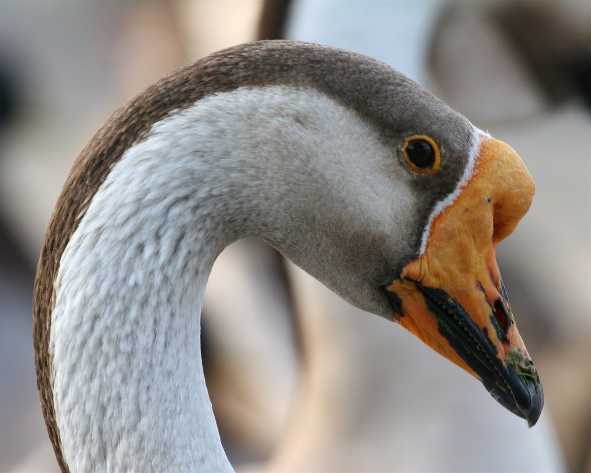 Goose, Palo Alto Baylands (Duck Pond)