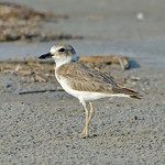 Wilson's Plover (Charadrius wilsonia), East Beach, Galveston, Texas