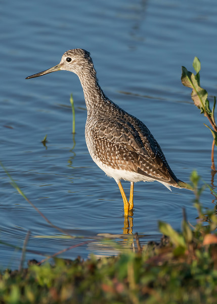 Greater yellowlegs (Tringa melanoleuca), Attwater Prairie-Chicken NWR, Texas