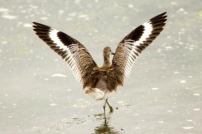 Willet showing off its striking wing patterns.  Photo taken at the Tokeland Marina in Tokeland, Washington.