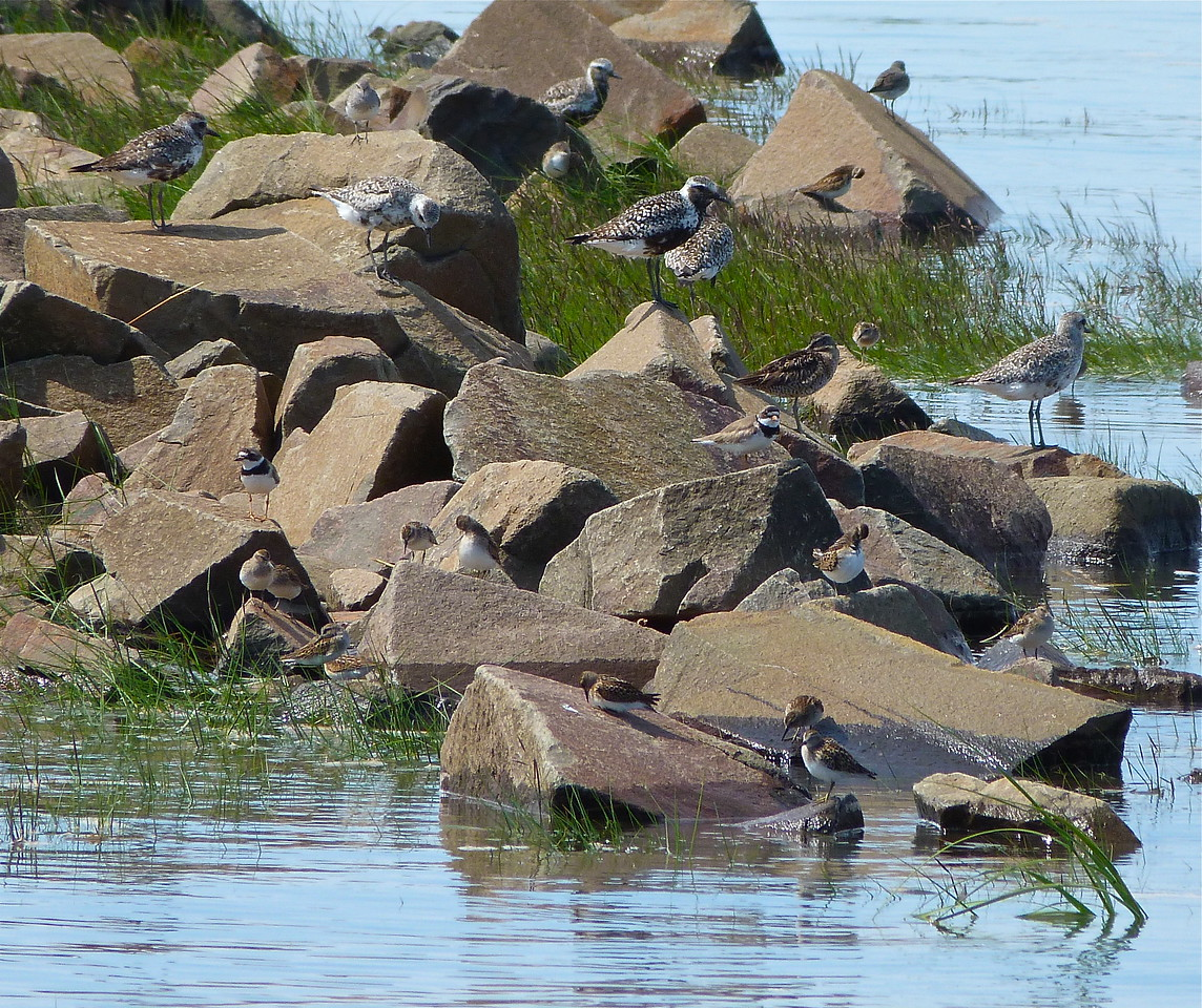 Black-bellied Plovers, Semipalmated Plovers, Least Sandpipers, Short-billed Dowitcher