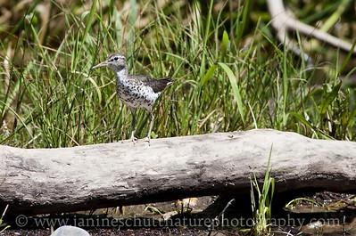 Spotted Sandpiper in breeding plumage.  Photo taken near Winthrop, Washington.