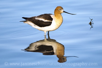 American Avocet at Swallows Park in Clarkston, Washington.