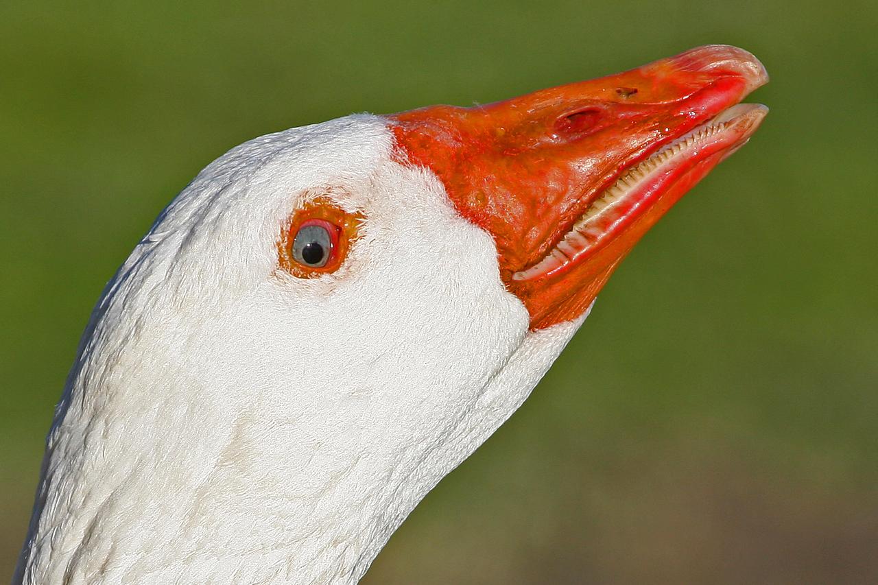 Goose, Palo Alto Baylands (Duck Pond)
