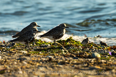 From big to small.  Black-bellied Plovers and the much smaller Western Sandpipers on the beach together at Fort Flagler State Park near Port Townsend, Washington.