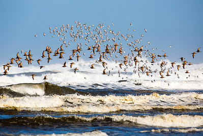 Mixed flock of Marbled Godwits and Sanderlings taking flight.  Photo taken near the Point Brown Jetty, south of Ocean Shores, Washington.