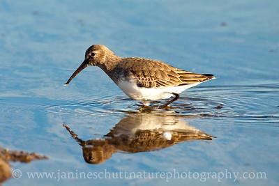 Dunlin in non-breeding plumage.  Photo taken on the shore of Chico Bay near Bremerton, Washington.